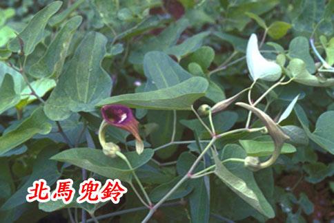 馬兜鈴科植物如北馬兜鈴,因具有很強的致癌性,國內已於2003年禁止做為中藥材使用。(圖片/取材自中醫藥資訊網)