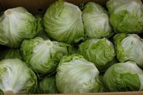 萵苣含有萵苣苦素,能預防肝癌、胃癌等消化系統癌症。(圖片/取材自農委會網站)