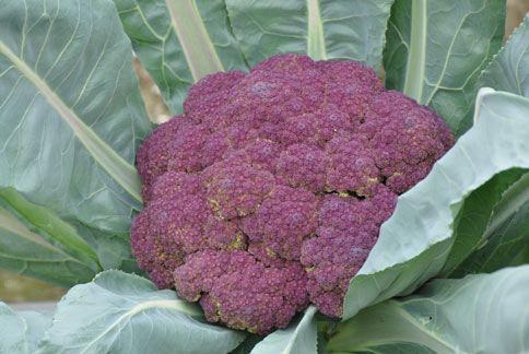 農試所經多年選拔馴化,成功選育出適合台灣栽培的紫色花椰菜。(圖片提供/農委會農試所)