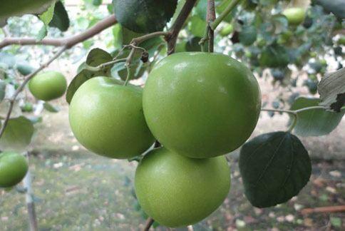 象徵「團圓果」的蜜棗,結實累累,廣受消費者所青睞。(圖片/農委會改良場提供)
