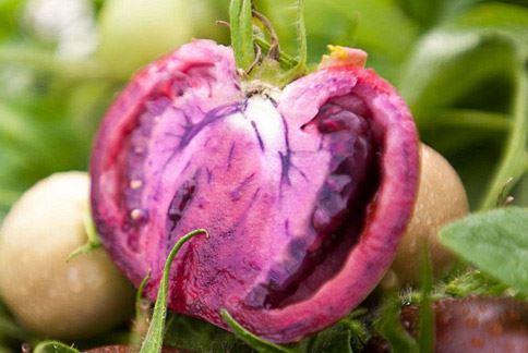 番茄不只有紅的!紫色番茄將成為新潮流。(圖片/取材自英國《每日郵報》)