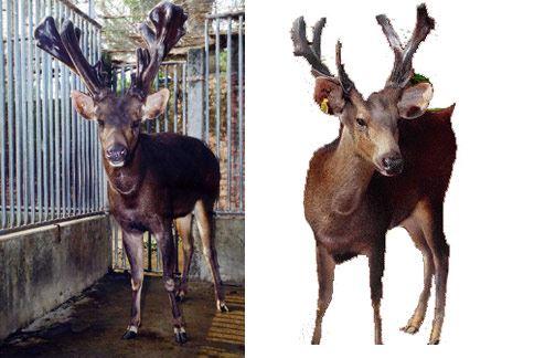 鹿茸雄鹿頭上尚未骨化的初生嫩角,中醫稱它為「東方威而剛」。(圖片提供/中華民國養鹿協會)