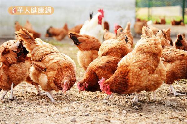 黃慧娟中醫師提醒多注意雞隻的飼養方式和過程,盡量選擇自然放養、少打藥的雞隻較好。