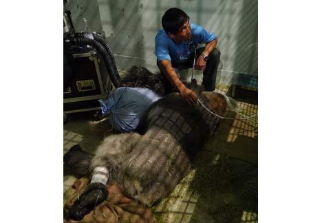 台北市立动物园表示,金刚猩猩是「西部低地大猩猩」